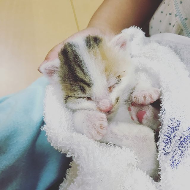 【動物を育てるということ】我が家には猫が3匹います。うち、2匹は私が独身時代から飼っていますが、3匹目は一昨年秋にお友達のお子さんが拾った子を譲り受けました。まだ目も開かない状態で母ネコとはぐれていた子で、臍の緒も付いていました。最初、獣医さんにみせたときはこのまま大きくなれるか、生きていけるかは分からない、と言われましたが、なんとか育ててみせる!絶対大丈夫!と子どもたちとともに覚悟をして受け入れました。数時間毎にミルクを飲ませ、授乳後は刺激して排泄を促し、温かくして寝かせる。そんなことの繰り返し。そんなことをしていると、2人の子どもたちの産まれたばかりの頃を思い出し、「あ〜〇〇ちゃんはおっぱいばっかりで哺乳瓶はダメでね、お母さんのおっぱいがまだたくさん出ない頃は泣いて泣いて大変だったよ」「〇〇ちゃんのおむつのお世話をみんなでしたんだよ」などなど、愛しさとともに思い出話がたくさん出てきました。子どもたちも、そんな話を興味深げに聞いてはせっせと子猫の世話をしてくれました。お陰ですっかり元気にやんちゃに大きくなった猫ちゃん♪子どもたちとの絆は深く、毎日一緒に寝起きしています(^^) 新たな命を預かり大切に育てるそんな経験を子どものうちにできるのも、とても幸せなことです☆飯山